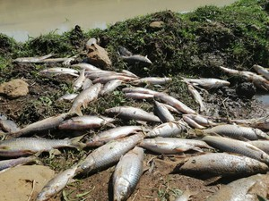 Photo of dead fish along river
