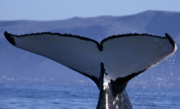shooting whales in an eco friendly way groundup