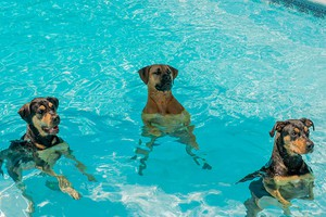 Photo of dogs in a swimming pool