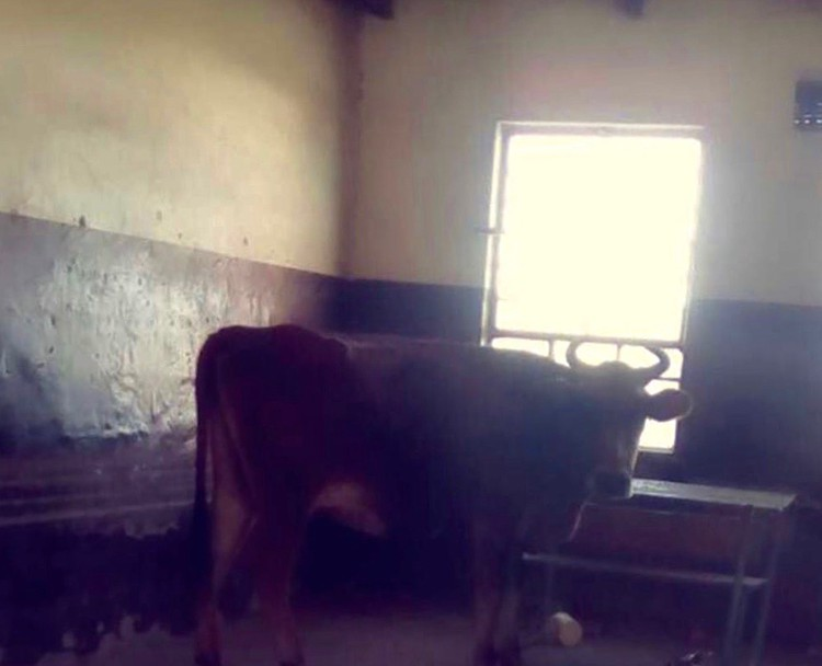 'Cows Have Become Our Classmates. We Are Used To It' -- Grade 12