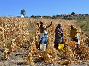 Photo of women in a maize field