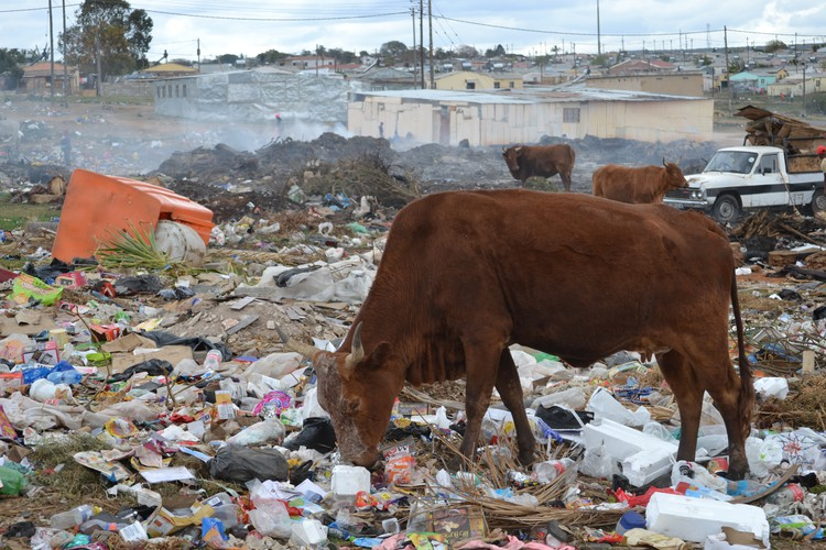 Cows graze among the dirty nappies in a dumpsite in Uitenhage. - Thamsanqa Mbovane