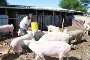 Photo of woman with pigs