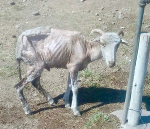 Photo of a starving goat